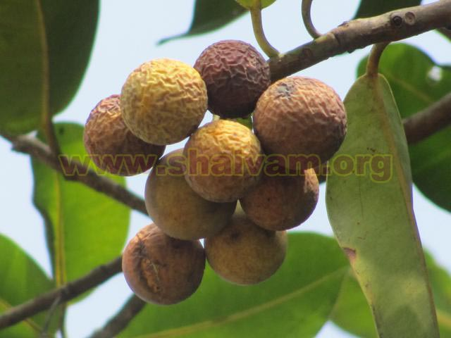 Green to yellowish brown Fruits