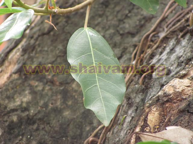 Fig Tree Leaves