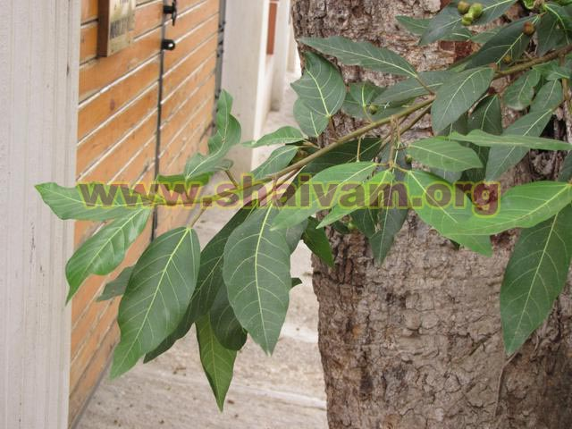 Fig tree leaf