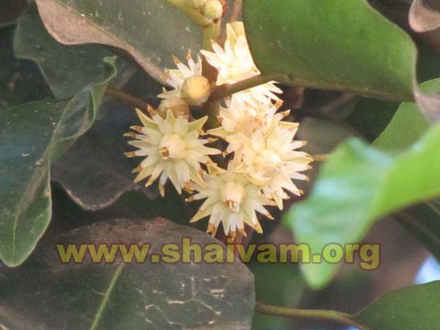 Flower of Maulsari (Mahizham) tree