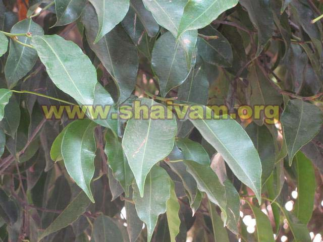 Leaf of Maulsari (Mahizham) tree
