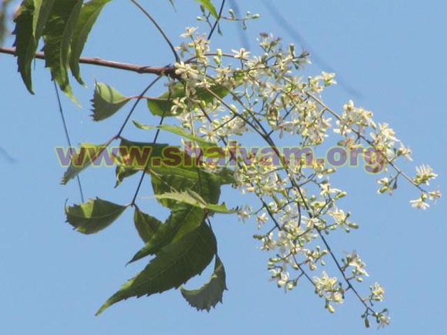 Neem Tree - Flower Single