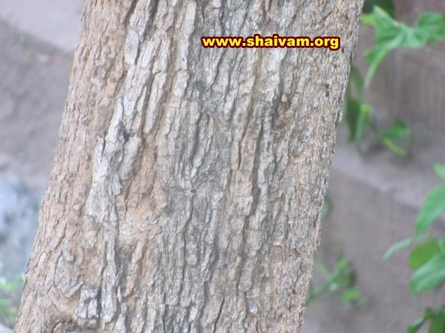 Vilvam Tree Bark